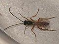 Ichneumonidae sp. (36246460130).jpg