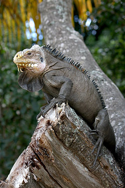 Iguana delicatissima in Coulibistrie e04.jpg
