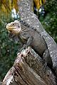 Iguana delicatissima in Coulibistrie e04.jpg