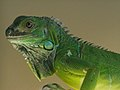 Iguana iguana -pet -upper body-8a.jpg