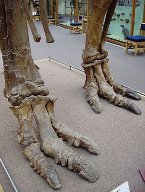 Ornithopod - Three-toed feet of Iguanodon