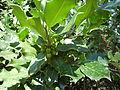 Ilex aquifolium,Grèvol 29 i 30 juliol 06 011.jpg