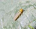 Illeis galbula on zucchini leaf 2.jpg