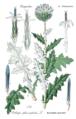 Illustration Echinops sphaerocephalus (Thomé & Müller 1905, vol. 4, plate 589) clean.png