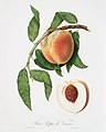 Illustration from Pomona Italiana Giorgio Gallesio by rawpixel00018.jpg