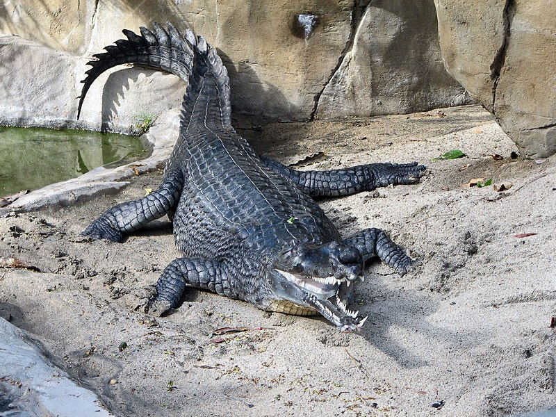 Indian Gharial at the San Diego Zoo (2006-01-03)