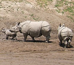 Badak India (Rhinoceros unicornis)