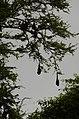 Indian flying fox (Pteropus giganteus) from Ranganathittu Bird Sanctuary JEG4460.JPG
