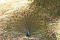 Indian peafowl (3).jpg