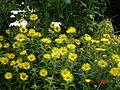 Inula hookeri - Flickr - peganum (1).jpg