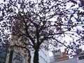 Ipês lilás no Cambuí 001.jpg