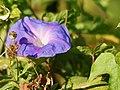 Ipomoea purpurea (flower).jpg
