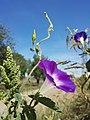 Ipomoea purpurea sl7.jpg