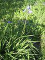 IrisSiberica-plant-hr.jpg