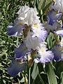 Iris alizés.jpg