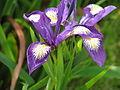 Iris douglasii? (14200182423).jpg