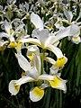 Iris orientalis 2c.JPG