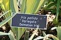 Iris pallida Variegata 0zz.jpg