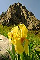 Iris reichenbachii Vitosha.jpg