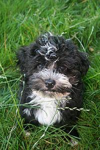 Havanese Dog Wikipedia