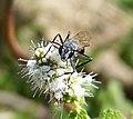 Isodontia paludosa Sphecidae (39878792422).jpg