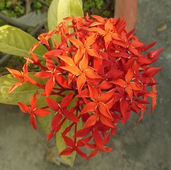 Ixora coccinea- jungle geranium.JPG