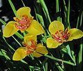 J20160627-0009—Tigridia pavonia—Shoko (27846109752).jpg