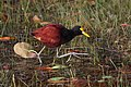 Jacana spinosa Crooked Tree 2.JPG