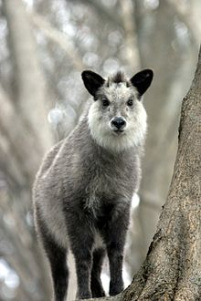 220px-Japanese_Serow_Wakinosowa_Japan.JP