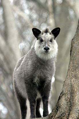 Japanese Serow Wakinosowa Japan.JPG