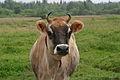 Jersey cow, close-up.jpg