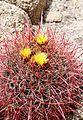 Joshua Tree National Park - Barrel Cactus (Ferocactus cylindraceus) - 5.JPG