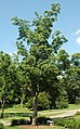 Juglans nigra (black walnut) 2 (49082746383).jpg