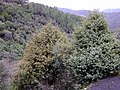 Juniperus oxycedrus habitat SierraMadrona.jpg