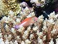 Juvenile Arc-eye hawkfish (Paracirrhites arcatus) (23124523155).jpg