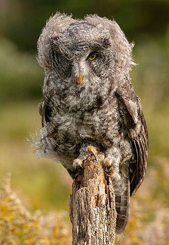 Great grey owl - Windblown juvenile great grey owl