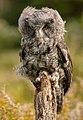 Juvenile Great Grey Owl (windblown).jpg