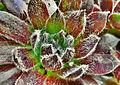 Kövirózsa (Sempervivum).jpg