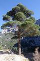 Kızılçam ağacı, Belemedik 05.JPG