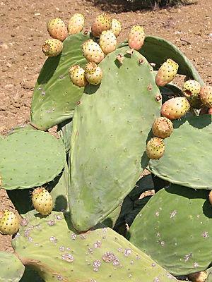 300px-Kaktusfeige.jpg