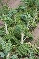 Kale (6025138237).jpg