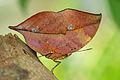 Kallima inachus formosana 20141122.jpg