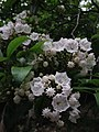 Kalmia latifolia - Mountain Laurel 3.jpg