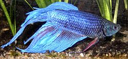 A blue veiltail male.
