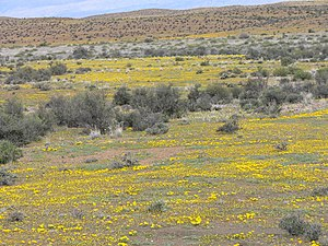 Laingsburg, Western Cape - Flowering Karoo near Laingsburg