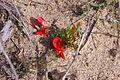 Kennedia prostrata gnangarra 02.JPG