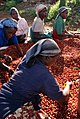 Kenyan farmers sorting coffee cherries.jpg