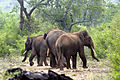 Kerala Elephant 0170 by N A Nazeer 02.jpg