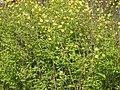 Kerria japonica pleniflora 7.JPG