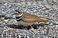 Killdeer on Nest (34274250601).jpg